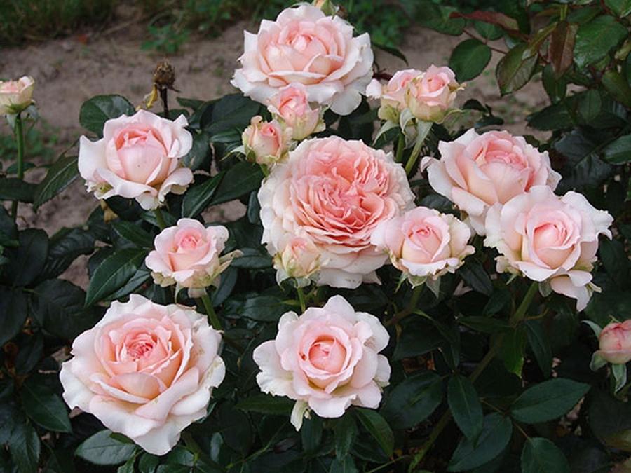 как сохранить саженцы роз дома и на даче