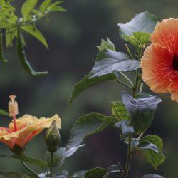 Как быстро размножить китайскую розу дома: лучшие способы