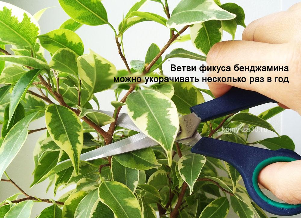 Как обрезать фикус бенджамина чтобы он красиво рос